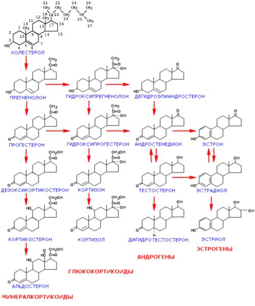 Основные стероидные гормоны человека и пути их синтеза